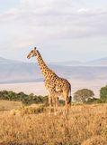Giraffes in Africa. Giraffe on the rim of the Ngorongoro Crater in Tanzania, Africa, at sunset Royalty Free Stock Images