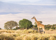 Giraffes in Africa. Giraffe and zebras on the rim of the Ngorongoro Crater in Tanzania, Africa, at sunset Royalty Free Stock Photography