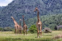 Giraffes in Africa. Giraffes grazing at the Arusha National Park in Tanzania royalty free stock image