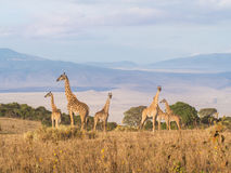 Giraffes in Africa. Herd of giraffes on the rim of the Ngorongoro Crater in Tanzania, Africa, at sunset Royalty Free Stock Photos