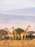 Giraffes in Africa. Herd of giraffes on the rim of the Ngorongoro Crater in Tanzania, Africa, at sunset Royalty Free Stock Photo