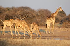 Giraffes - Africa's Golden Patterns Royalty Free Stock Photos