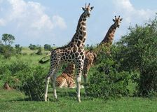 Giraffes in Africa. Some Rothschild Giraffes and green vegetation in Uganda (Africa royalty free stock image