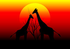 Giraffes in Africa and sunset Stock Photo