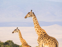 Giraffes in Africa. Two giraffes on the rim of the Ngorongoro Crater in Tanzania, Africa, at sunset Stock Photos