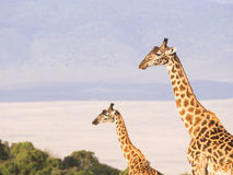 Giraffes in Africa. Two giraffes on the rim of the Ngorongoro Crater in Tanzania, Africa, at sunset Royalty Free Stock Photos