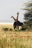 giraffes africaines de famille Photo libre de droits