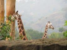 Giraffes stock photos