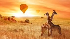 Giraffes in the African savanna against the background of the orange sunset. Flight of a balloon in the sky above the savanna. Royalty Free Stock Photo