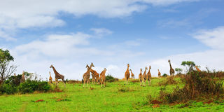 Giraffes in the african savannah Stock Images