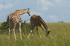 Giraffes in african savannah Stock Photo