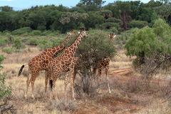 Giraffes in the African savannah of Kenya Stock Photography