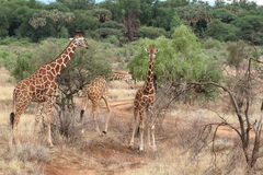 Giraffes in the African savannah of Kenya Royalty Free Stock Images