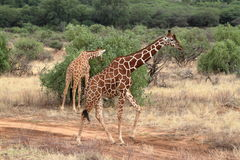 Giraffes in the African savannah of Kenya Royalty Free Stock Image