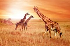 Giraffes in the African savannah at sunset. Wild nature of Africa.  royalty free stock photo