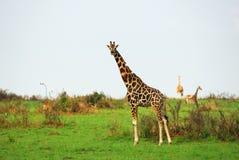 Giraffes in the african savannah, Uganda Stock Photos