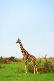 Giraffes in the african savannah, Uganda Stock Photo