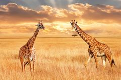 Giraffes in the African savannah. Wild nature of Africa. Artistic African image. royalty free stock photography