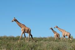 Giraffes against a blue sky stock photo