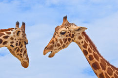 Giraffes against the blue sky Royalty Free Stock Image