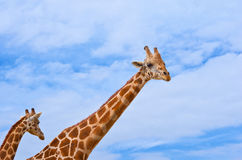 Giraffes against the blue sky Stock Photography