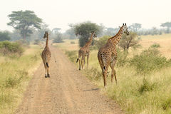 Giraffes along the road Stock Photography