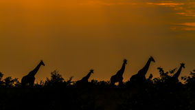 Giraffes in an amazing sunset , Kruger Park, South Africa. Group of Giraffes in an amazing sunset , Kruger Park, South Africa Royalty Free Stock Photography