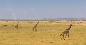 Giraffes in amboseli national park, kenya Stock Images