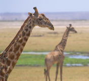 Giraffes in amboseli national park, kenya Royalty Free Stock Photos
