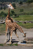 Giraffes. (Giraffa camelopardalis rothschildi ) - Afraca safari stock photo