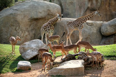 Giraffes and antelopes in Biopark Stock Photo