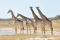Giraffes Royalty Free Stock Image