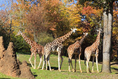 Giraffes. At the Asheboro Zoo in North Carolina stock image