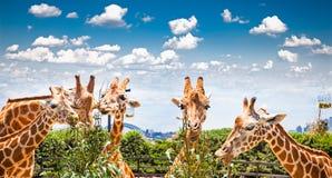 Giraffes At Taronga Zoo, Sydney. Australia. Royalty Free Stock Image