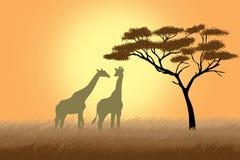 Giraffes au-dessus de lever de soleil près d'acacia Photos stock
