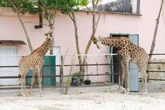 Giraffes in  aviary, Safari Park Taigan, Crimea. Royalty Free Stock Photography