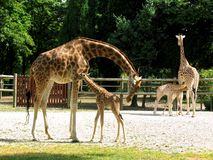 Giraffes and baby Stock Images