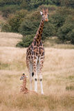 Giraffes. Baby and adult giraffe in safari park Royalty Free Stock Image