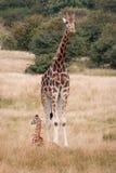 Giraffes. Baby and adult giraffe in safari park royalty free stock image