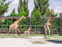 Giraffes and baby Royalty Free Stock Photography