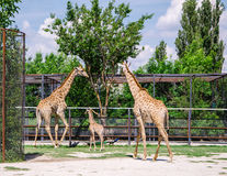 Giraffes and baby Stock Photography