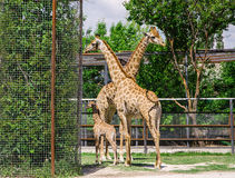 Giraffes and baby Royalty Free Stock Image