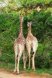 Giraffes from behind royalty free stock image