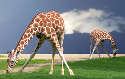 Giraffes bending. As they were doing stretching exercises in a yoga class Royalty Free Stock Photos