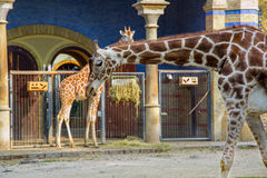 Giraffes. In the Berlin zoo Stock Photography
