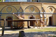 Giraffes in Berlin Zoo. Berlin, Germany - 28 May, 2014: Giraffes in Berlin Zoo Stock Photo