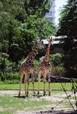 Giraffes in the Berlin zoo royalty free stock photography
