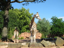 Giraffes. Big ,  in zoo Royalty Free Stock Images