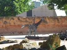 Giraffes. Big ,  in zoo, 3 Stock Photography