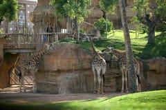 Giraffes in Biopark Stock Image